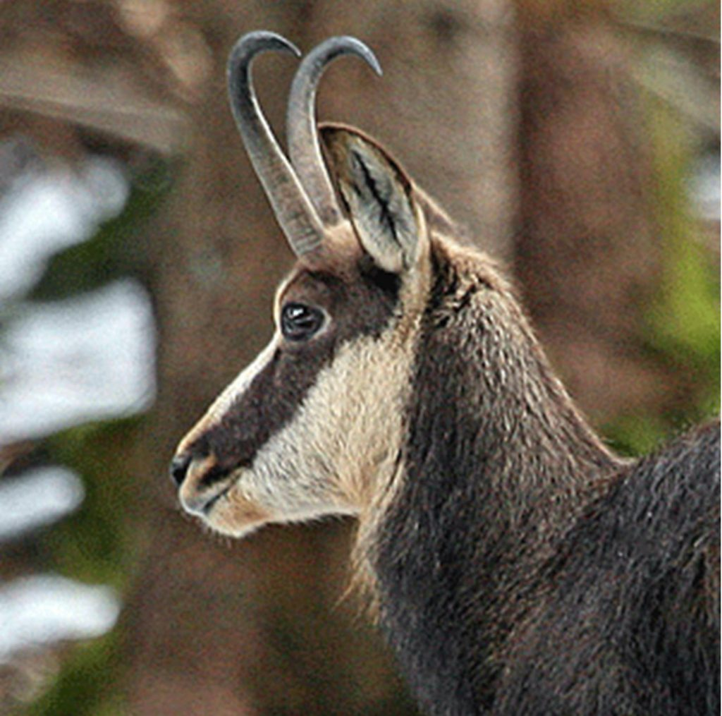 A Gemse or chamois (from which we also name the leather).