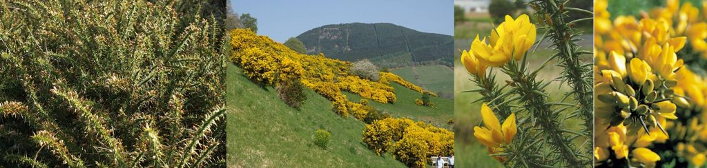 gorse=whinny